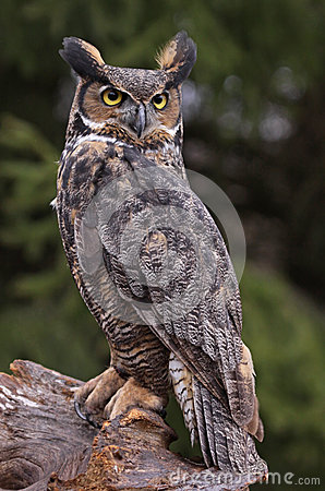 Free Great Horned Owl Stare Royalty Free Stock Images - 31115529