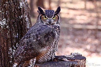 Great Horned Owl on a tree stump