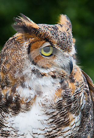 Great horned owl with tuffs of feathers resembling antlers