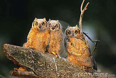 Great Horned Owl Young