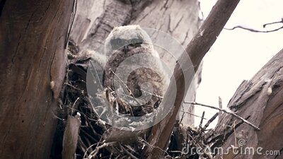 Great horned owlets stock video