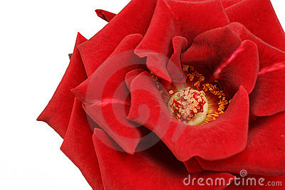 Great look at a rose on white