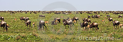 The Great Migration of Wildebeests in Serengeti