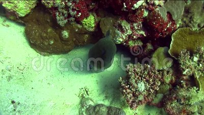 Great moray Gymnothorax javanicus with cleaning fish in Red sea stock video