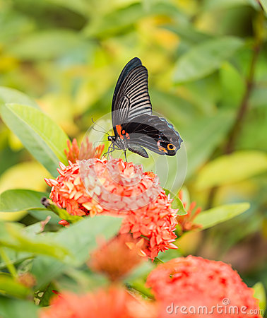 Free Great Mormon Butterfly Royalty Free Stock Photos - 30933098