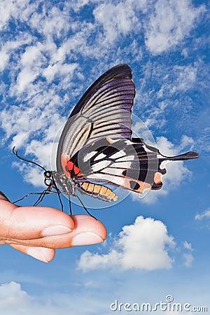 Great Mormon (Papilio memnon agenor) butterfly