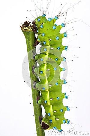 Free Great Peacock Moth Caterpillar / Saturnia Pyri Stock Images - 12052774