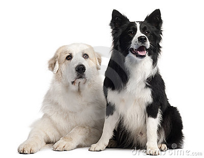 Great Pyrenees, 6 years old, and Border Collie