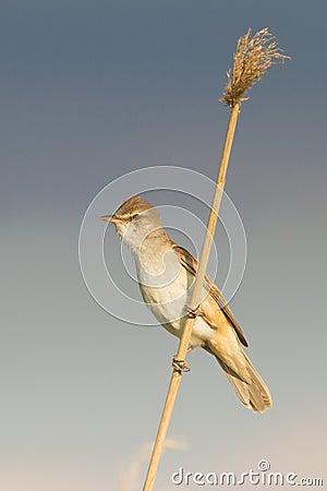 Great Reed Warbler  / Acrocephalus arun