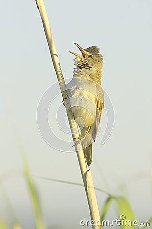 Great reed warbler ( Acrocephalus arundinaceus )