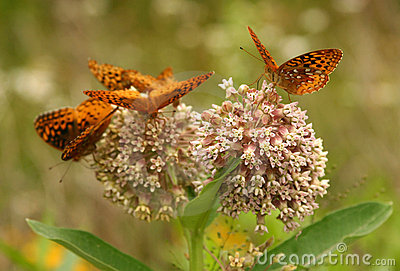 Great spangled fritillary butterflies