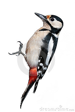 Free Great Spotted Woodpecker Royalty Free Stock Images - 24158529