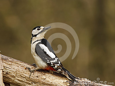 Great Spotted Woodpecker (Dendrocopos m