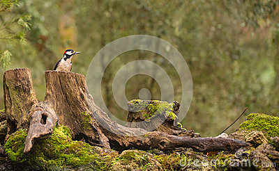 Great-spotted Woodpecker in European Forest