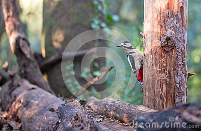Great-spotted Woodpecker on tree