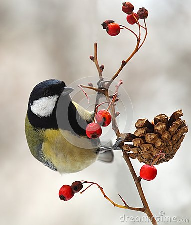 Great tit  on a berried branch