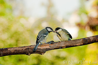 Great tit birds feeding