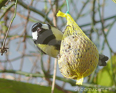 Great tit at fat ball
