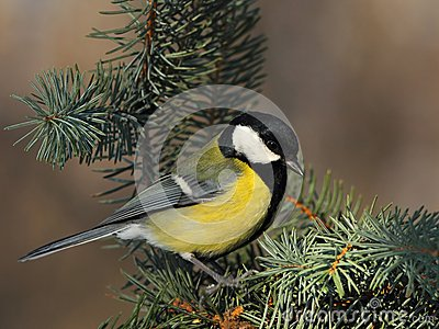 Great tit  on a fir branch
