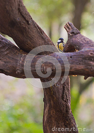 Great Tit between logs