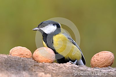 Great tit with nuts