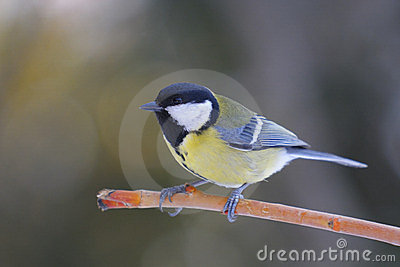 Great Tit , Parus major