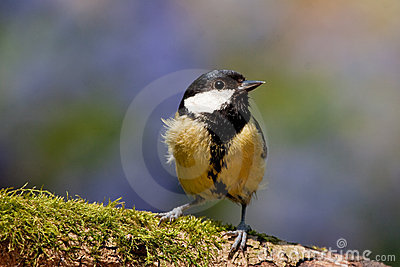 Great Tit Perched with Moss and Vivid Colors
