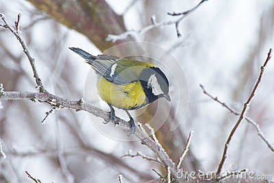 Great tit perching on branch