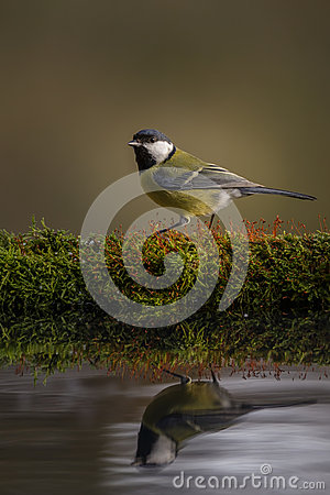 Free Great Tit Reflections Stock Photos - 48222663