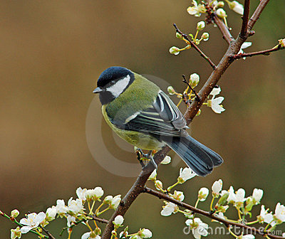 Great Tit in springtime