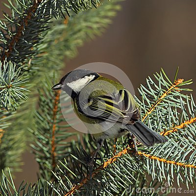 Great tit  on a sunny fir branch