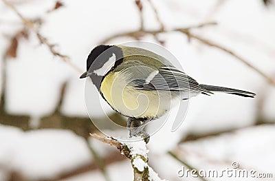 Great Tit in Winter