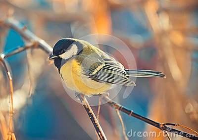 Great titmouse on a branch Stock Photo