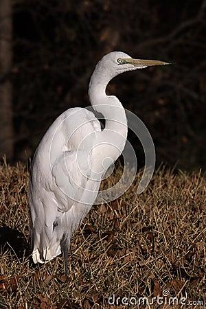 Free Great White Egret Royalty Free Stock Image - 1287326