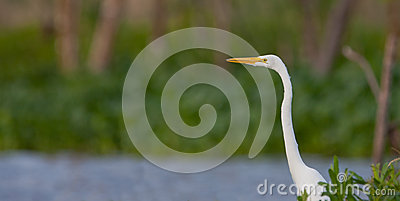 Great White Egret Royalty Free Stock Photo - Image: 26063245