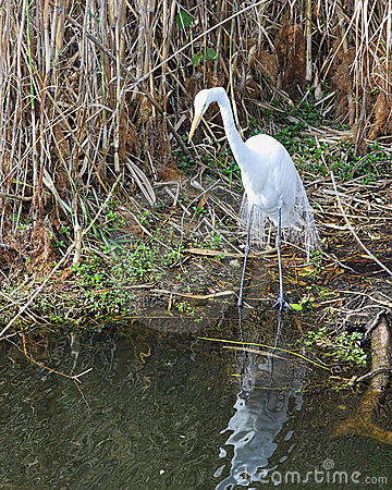 Great White Egret - 5