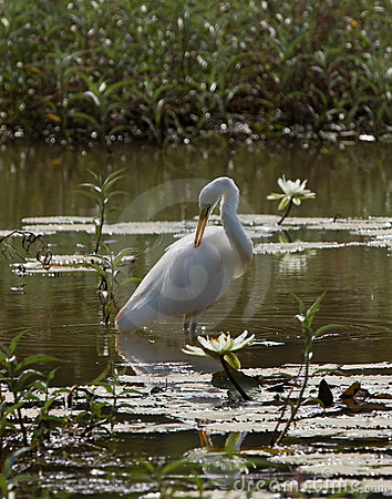 Free Great White Egret At The Lily Pond Stock Photography - 9239852
