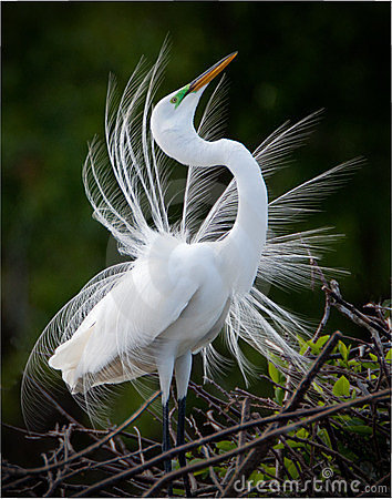 Free Great White Egret Bird Stock Photos - 23677013