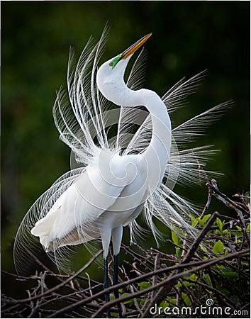 Free Great White Egret Bird Stock Photos - 23677013