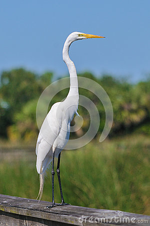 Great white egret bird
