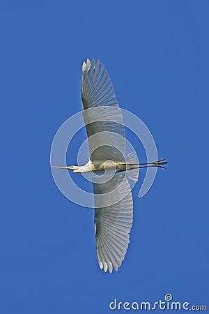 Great white egret / Casmerodius albus