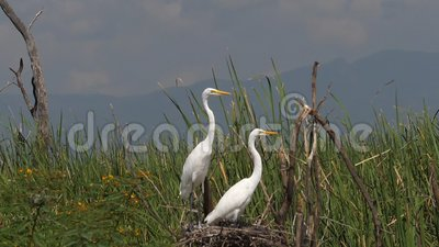 Great White Egret, egretta alba, Pair on Nest, lac Baringo au Kenya, clips vidéos