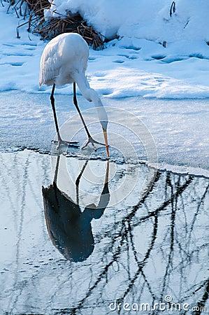Free Great White Egret Fishing Near Ice Stock Photo - 15563750
