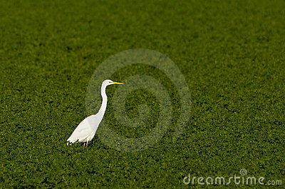 A Great White Egret in the green
