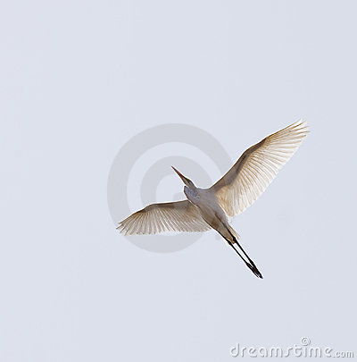 Free Great White Egret In Flight Royalty Free Stock Photos - 9024778