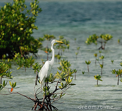 Great White Egret on mangrove tree