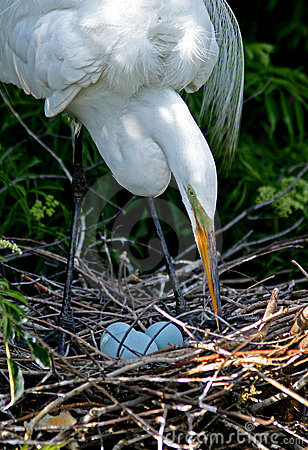 Great White Egret Mother
