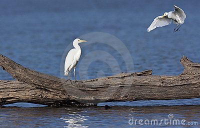Great White Egret - Okavango Delta - Botswana