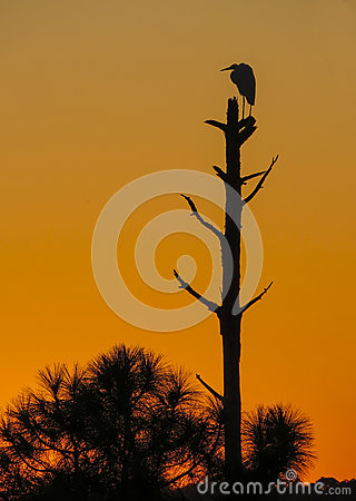 Free Great White Egret Watches Setting Sun Stock Photography - 62716412