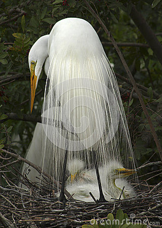 Free Great White Egret With Babies In Nest. Royalty Free Stock Images - 52533489